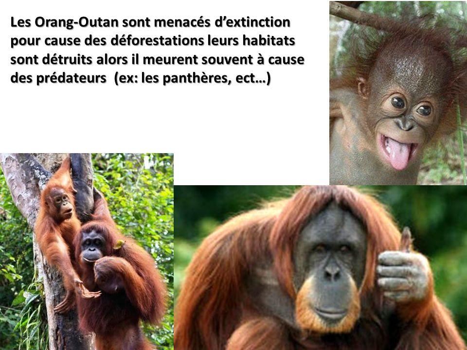 Les Orang-Outan sont menacés d'extinction pour cause des déforestations leurs habitats sont détruits alors il meurent souvent à cause des prédateurs (ex: les panthères, ect…)