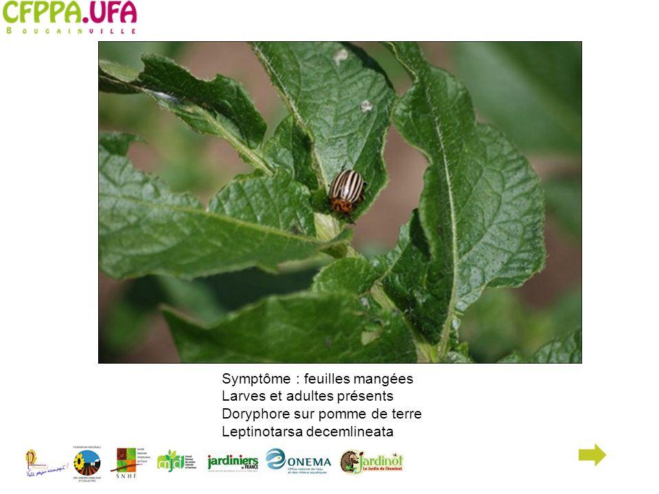 Symptôme : feuilles mangées