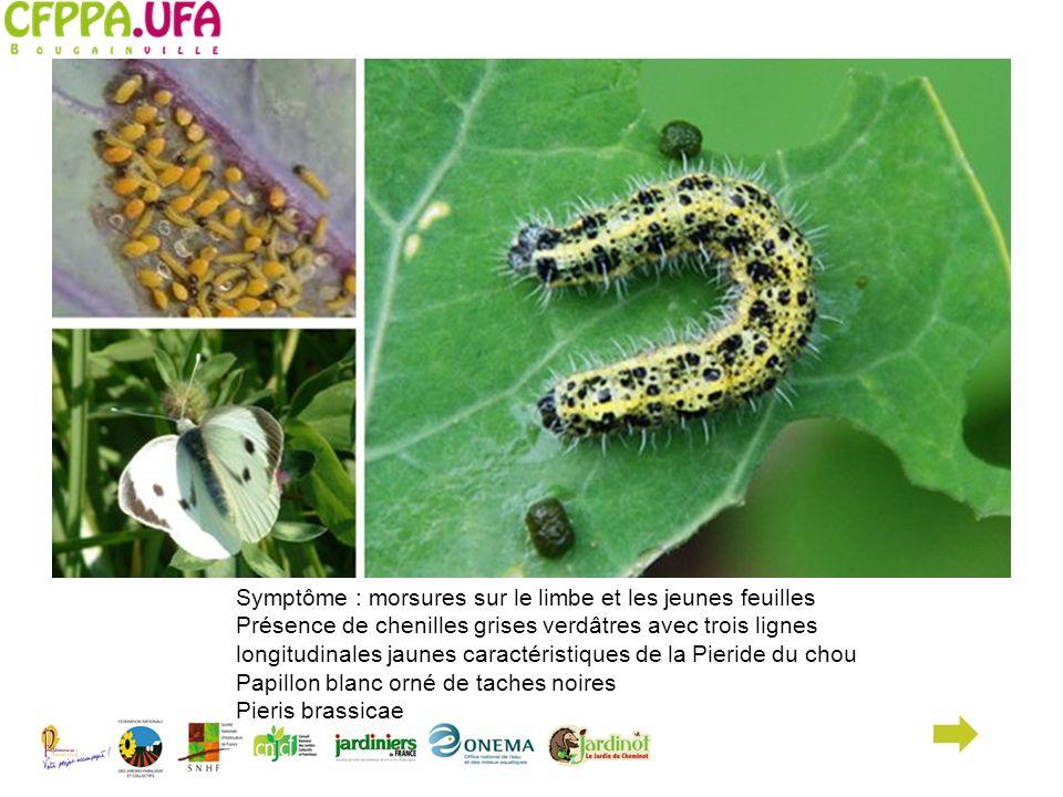 Symptôme : morsures sur le limbe et les jeunes feuilles