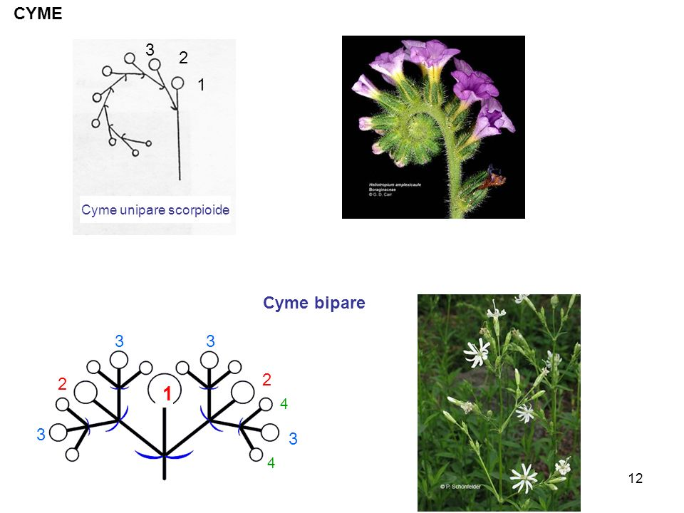 Cyme unipare scorpioide