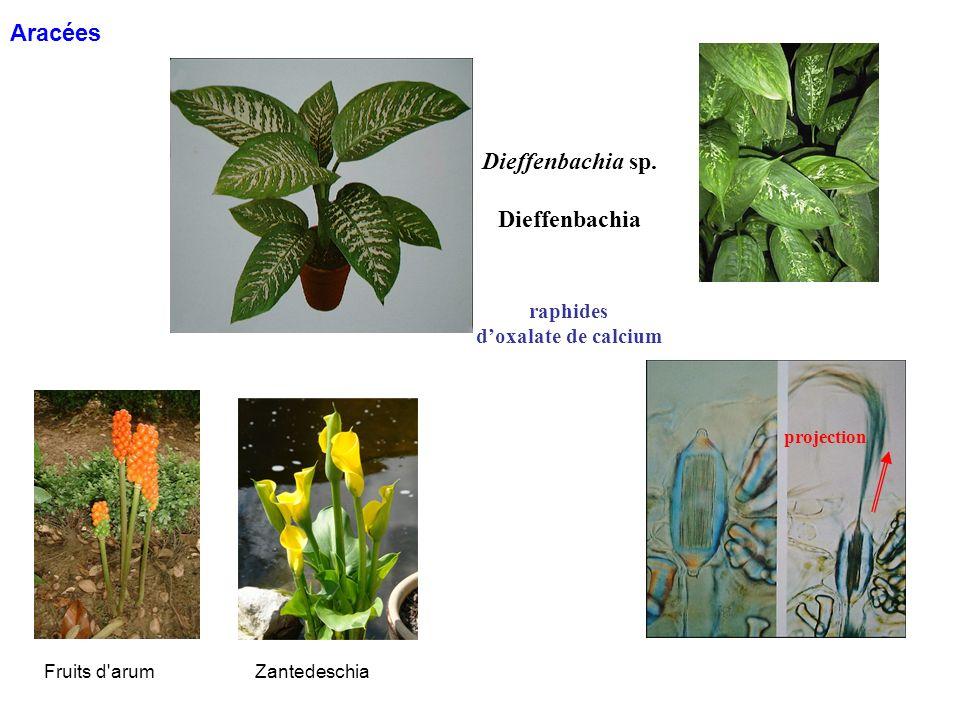Dieffenbachia sp. Dieffenbachia