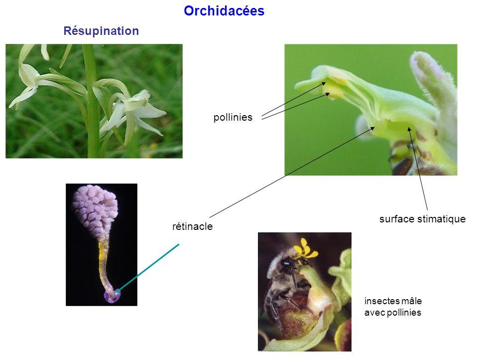 Orchidacées Résupination pollinies surface stimatique rétinacle