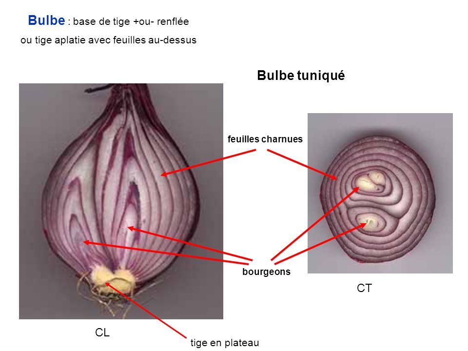 Bulbe : base de tige +ou- renflée