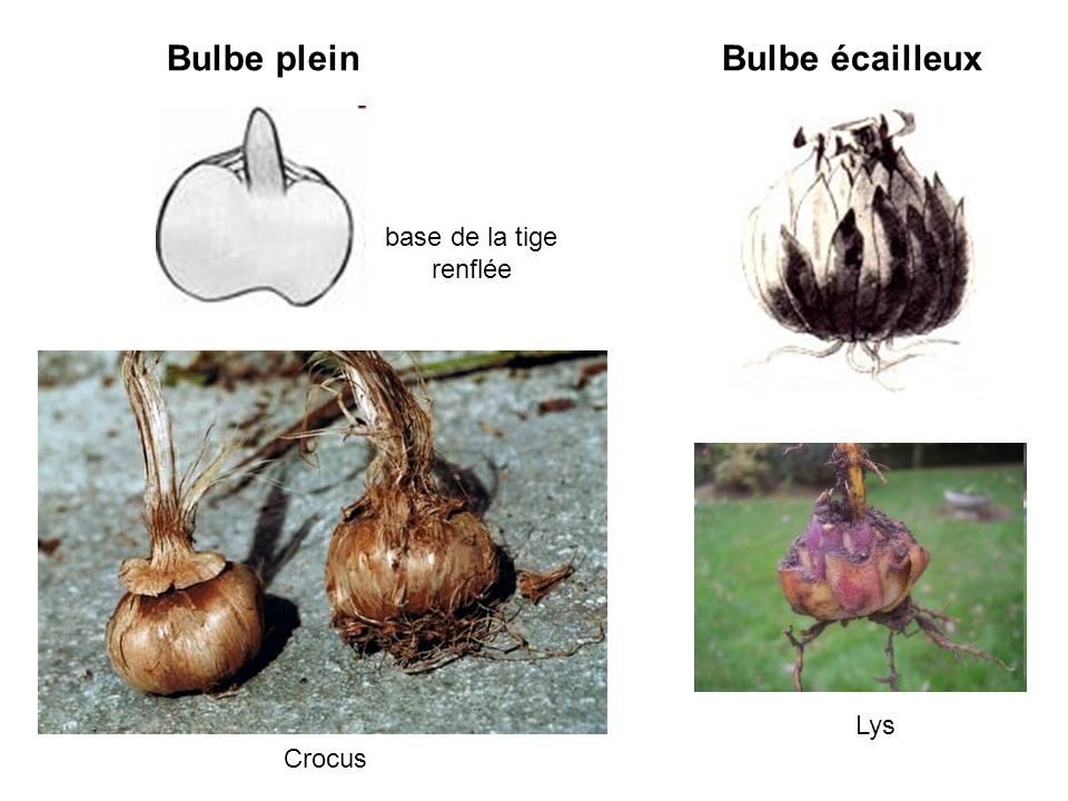 Bulbe plein Bulbe écailleux base de la tige renflée Lys Crocus
