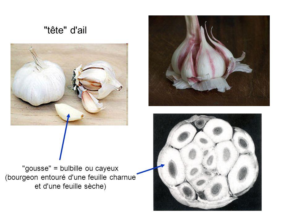 tête d ail gousse = bulbille ou cayeux