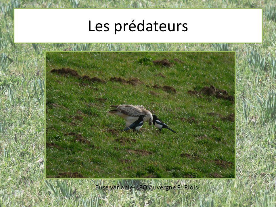 Les prédateurs Buse variable- LPO Auvergne R. Riols