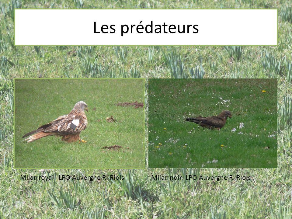 Les prédateurs Milan royal - LPO Auvergne R. Riols