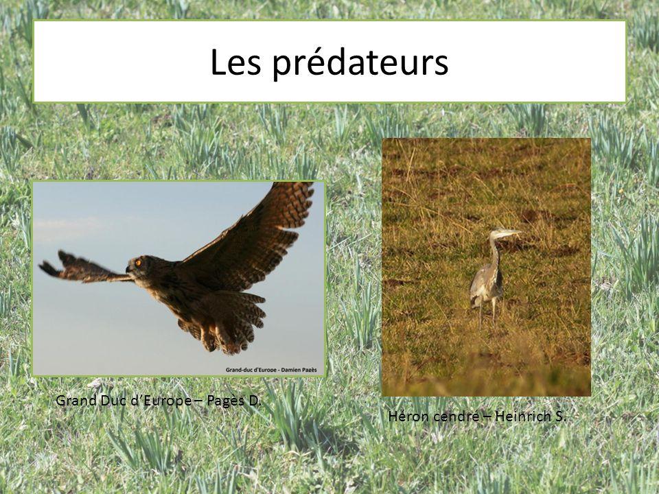 Les prédateurs Grand Duc d'Europe – Pagès D.