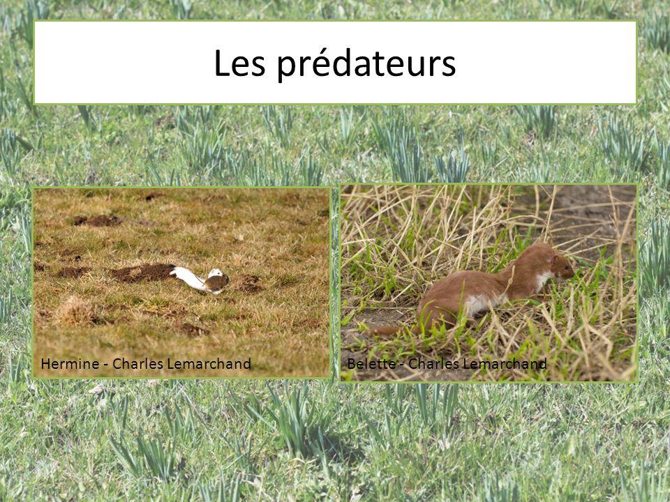 Les prédateurs Hermine - Charles Lemarchand