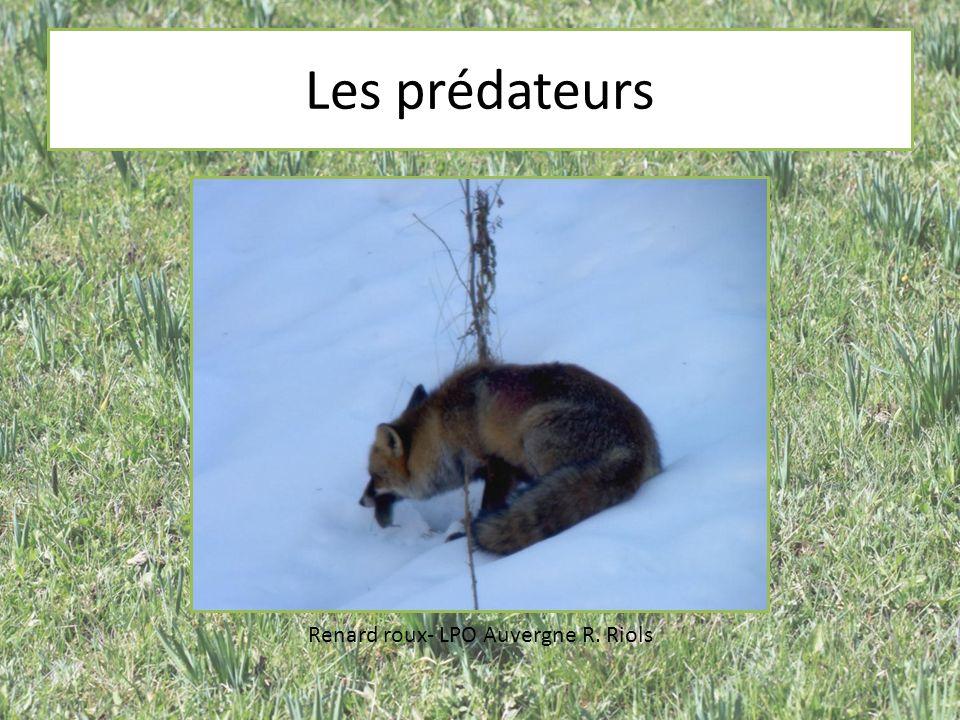 Les prédateurs Renard roux- LPO Auvergne R. Riols
