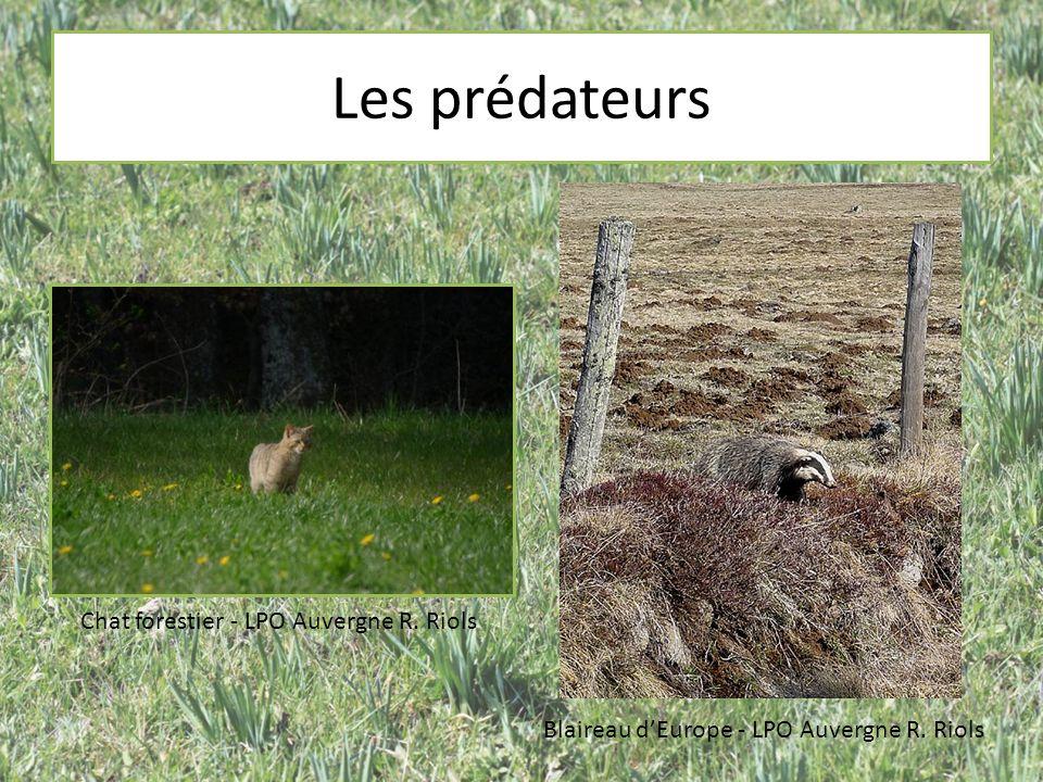Les prédateurs Chat forestier - LPO Auvergne R. Riols