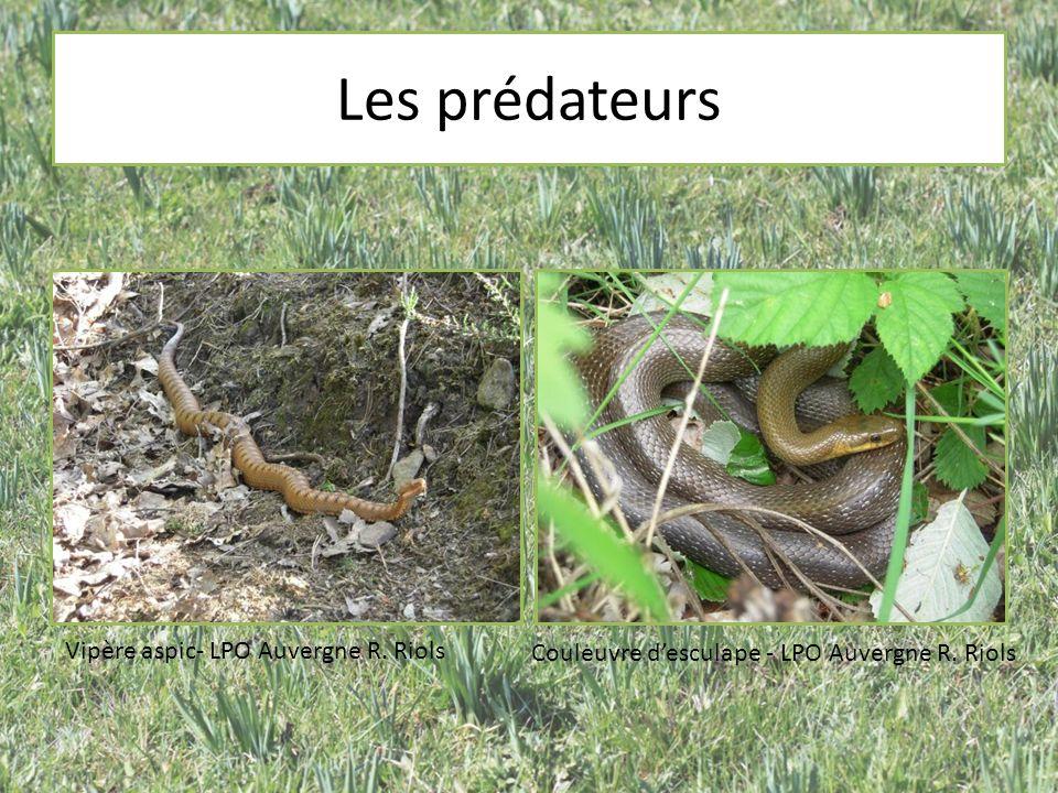 Les prédateurs Vipère aspic- LPO Auvergne R. Riols