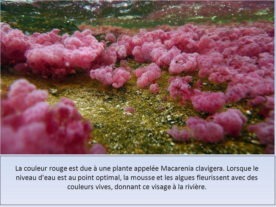 La couleur rouge est due à une plante appelée Macarenia clavigera