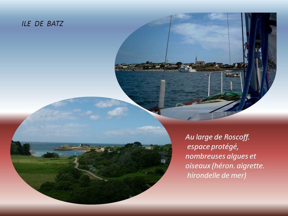 ILE DE BATZ Au large de Roscoff. espace protégé, nombreuses algues et. oiseaux (héron. aigrette.
