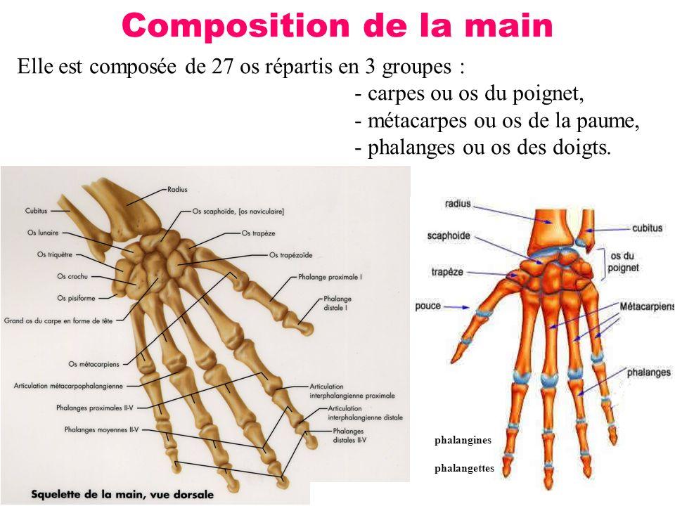 Composition de la main Elle est composée de 27 os répartis en 3 groupes : - carpes ou os du poignet,