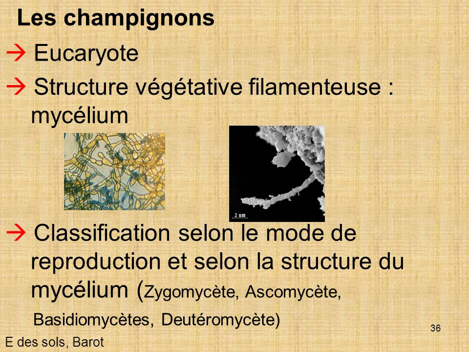  Structure végétative filamenteuse : mycélium