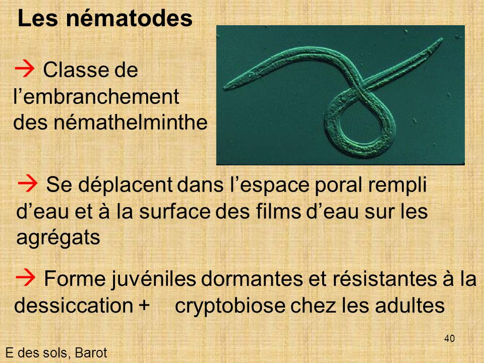  Classe de l'embranchement des némathelminthe