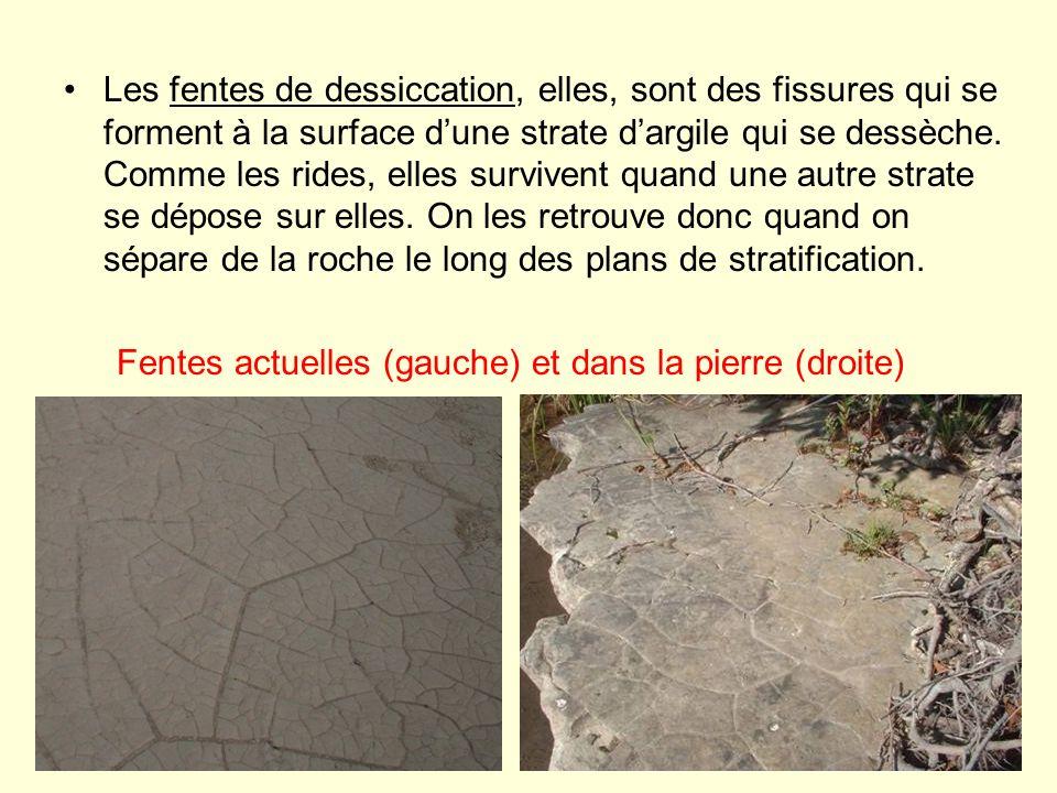Les fentes de dessiccation, elles, sont des fissures qui se forment à la surface d'une strate d'argile qui se dessèche. Comme les rides, elles survivent quand une autre strate se dépose sur elles. On les retrouve donc quand on sépare de la roche le long des plans de stratification.
