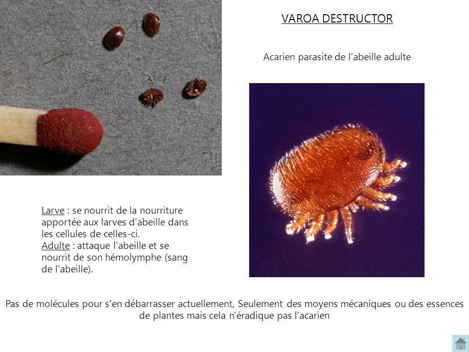 Acarien parasite de l abeille adulte