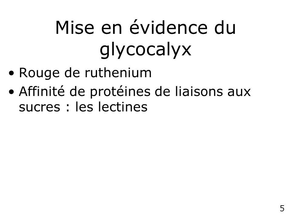Mise en évidence du glycocalyx