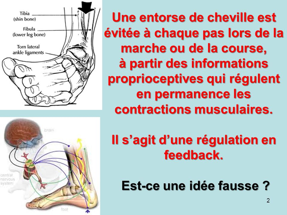Une entorse de cheville est évitée à chaque pas lors de la marche ou de la course, à partir des informations proprioceptives qui régulent en permanence les contractions musculaires.