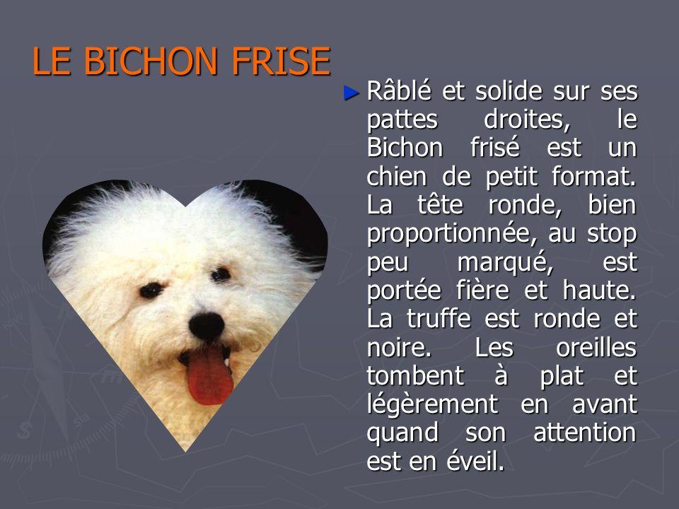 LE BICHON FRISE