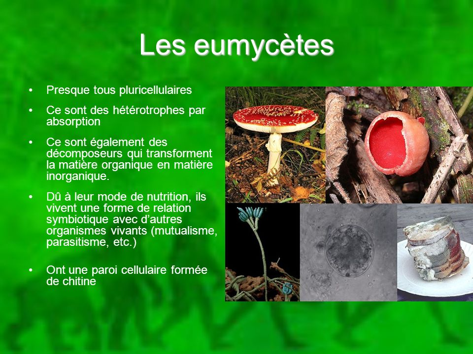 Les eumycètes Presque tous pluricellulaires