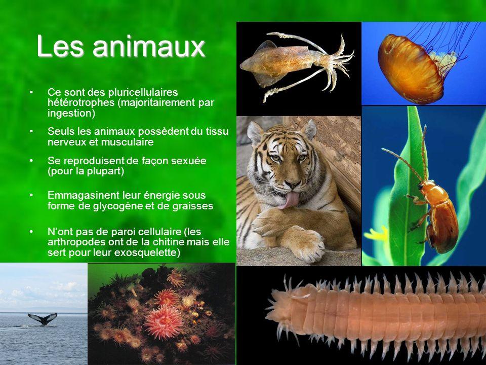 Les animaux Ce sont des pluricellulaires hétérotrophes (majoritairement par ingestion) Seuls les animaux possèdent du tissu nerveux et musculaire.