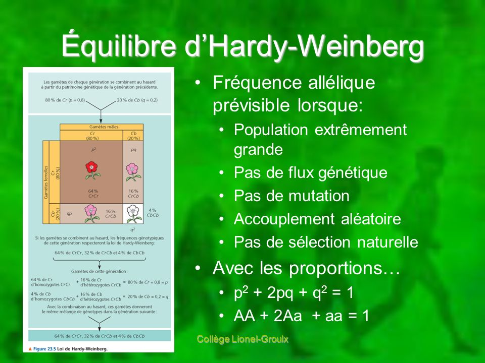 Équilibre d'Hardy-Weinberg