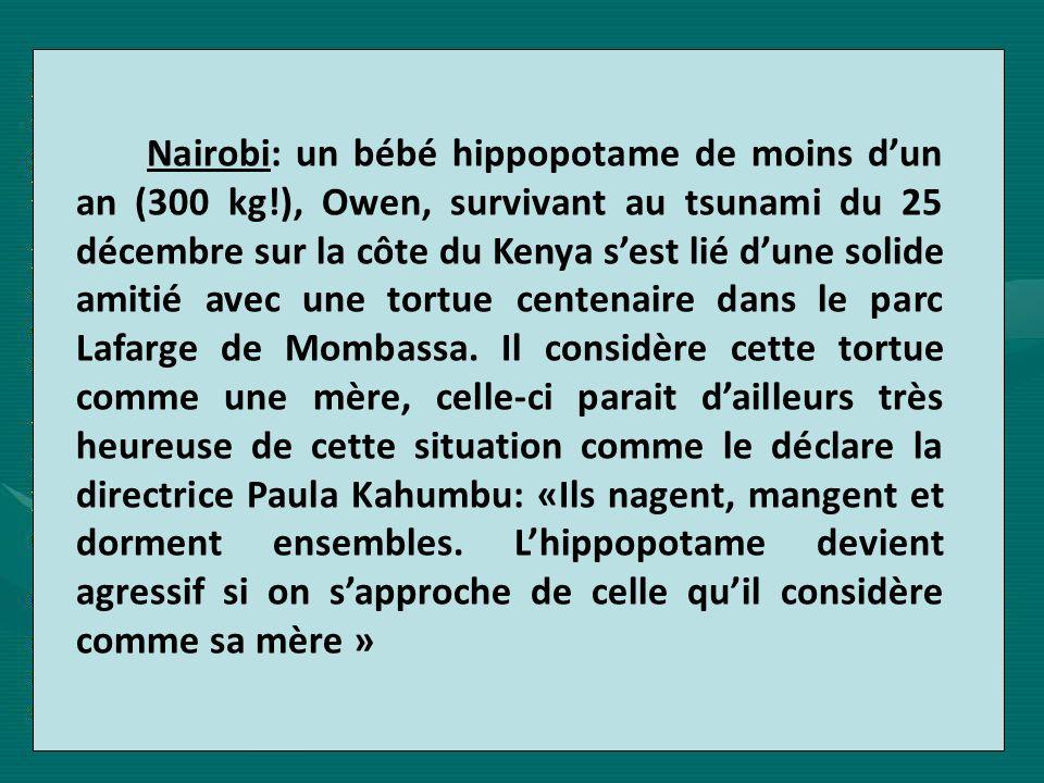 Nairobi: un bébé hippopotame de moins d'un an (300 kg
