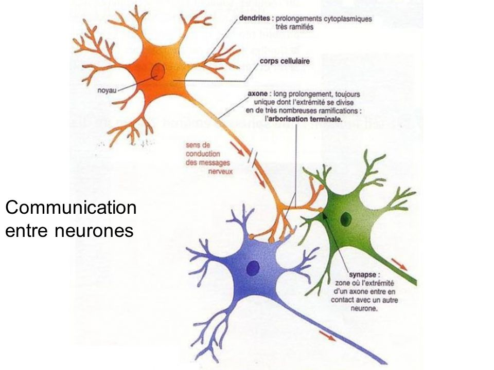 neurone Communication entre neurones