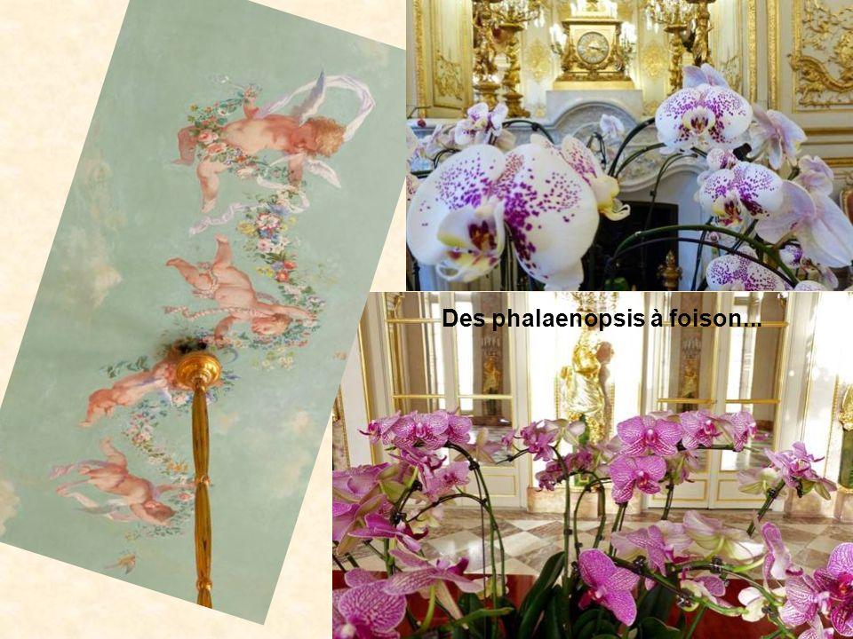Des phalaenopsis à foison...