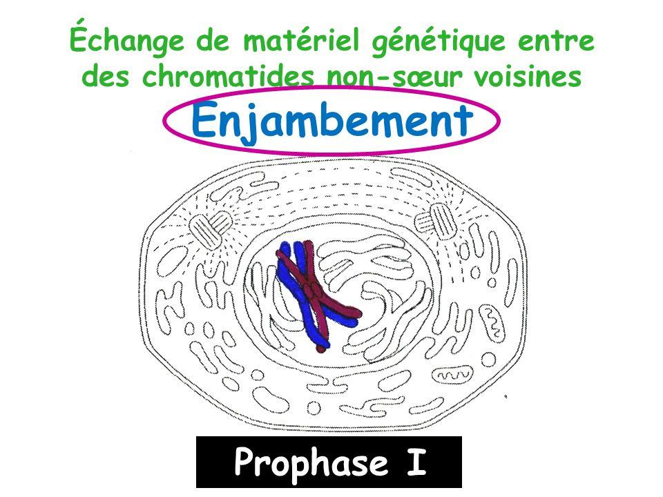 Échange de matériel génétique entre des chromatides non-sœur voisines Enjambement