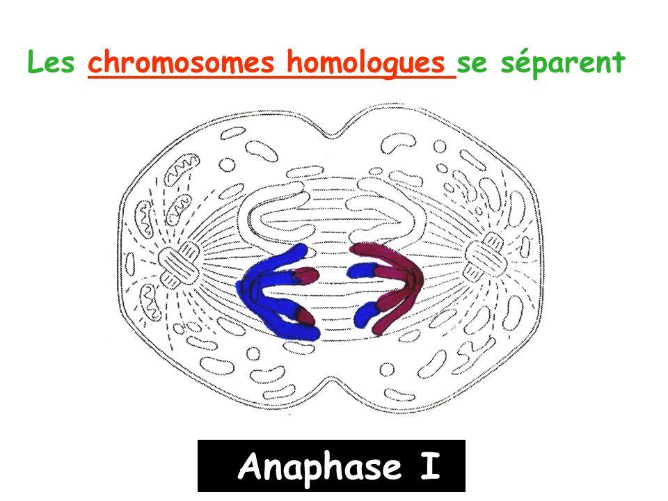 Les chromosomes homologues se séparent
