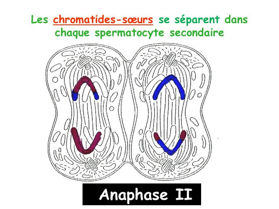Les chromatides-sœurs se séparent dans chaque spermatocyte secondaire
