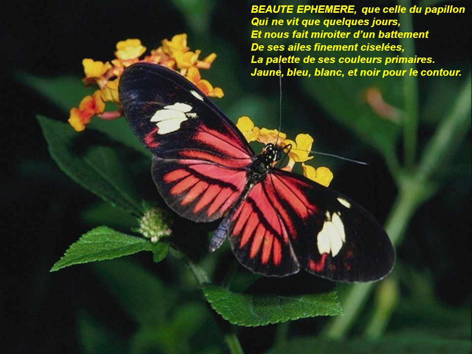BEAUTE EPHEMERE, que celle du papillon