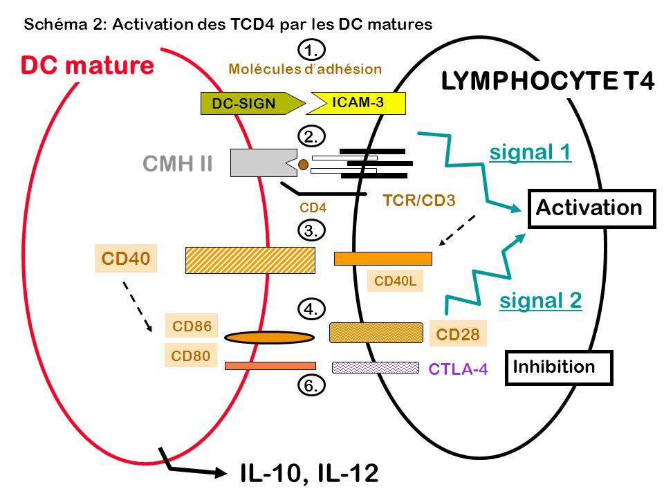 DC mature LYMPHOCYTE T4 IL-10, IL-12 signal 1 CMH II Activation