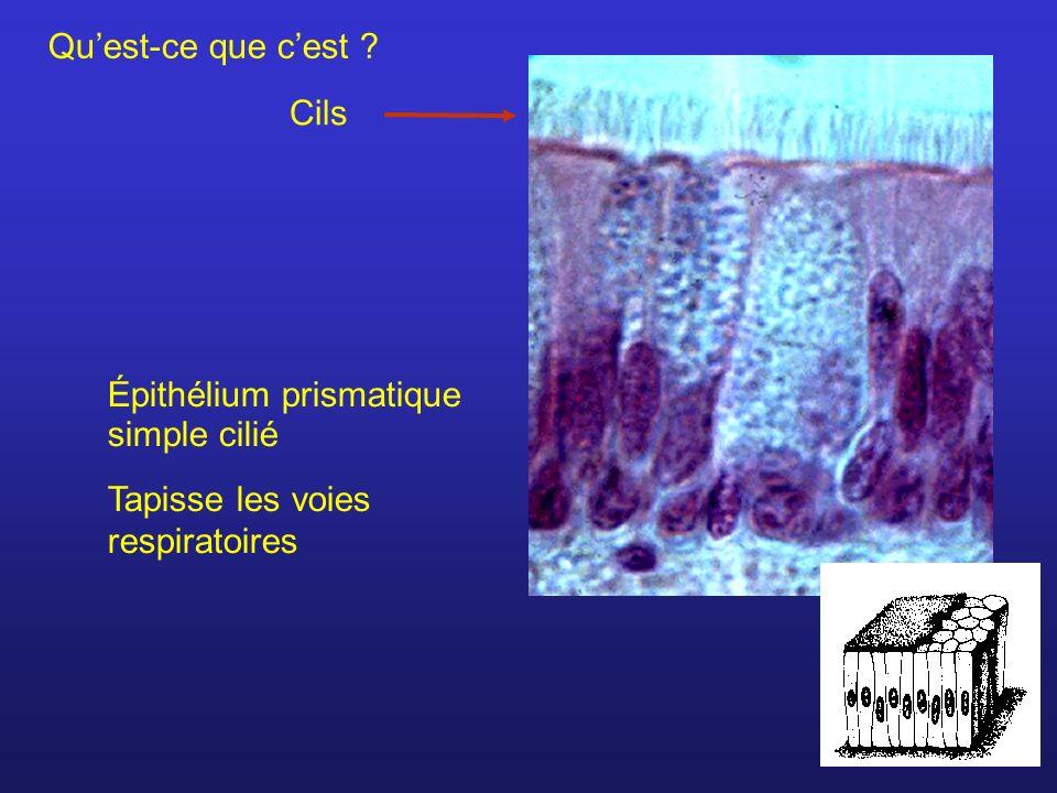 Qu'est-ce que c'est Cils Épithélium prismatique simple cilié Tapisse les voies respiratoires