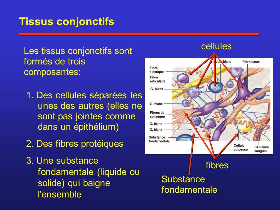 Tissus conjonctifs cellules