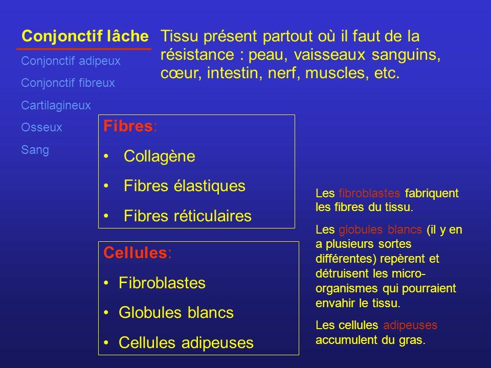 Conjonctif lâche Conjonctif adipeux. Conjonctif fibreux. Cartilagineux. Osseux. Sang.