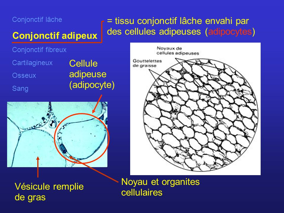 Cellule adipeuse (adipocyte)