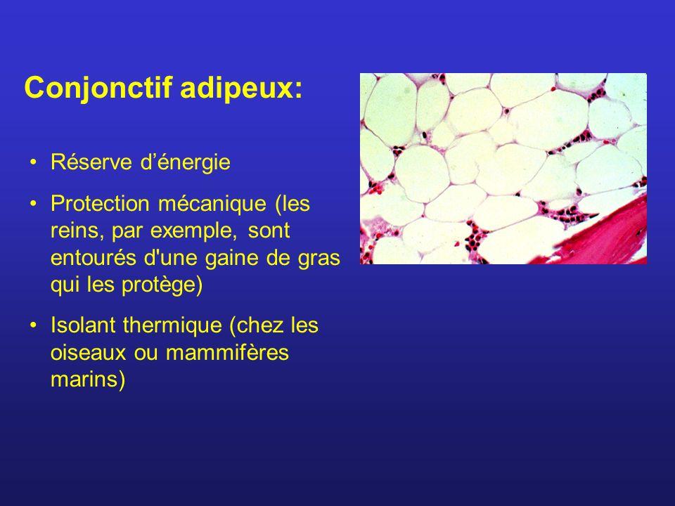 Conjonctif adipeux: Réserve d'énergie