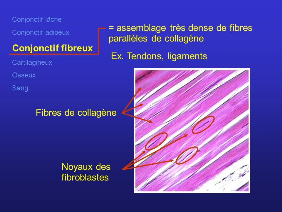 = assemblage très dense de fibres parallèles de collagène