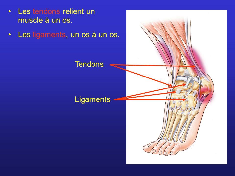 Les tendons relient un muscle à un os.