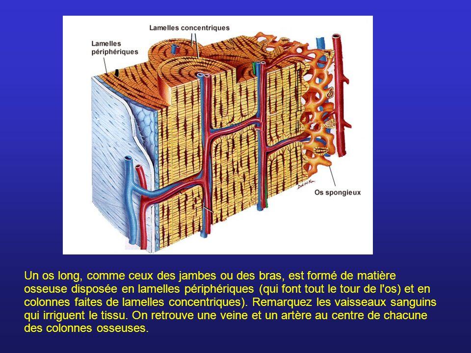 Un os long, comme ceux des jambes ou des bras, est formé de matière osseuse disposée en lamelles périphériques (qui font tout le tour de l os) et en colonnes faites de lamelles concentriques).
