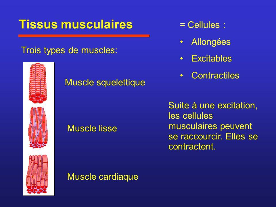 Tissus musculaires = Cellules : Allongées Excitables Contractiles
