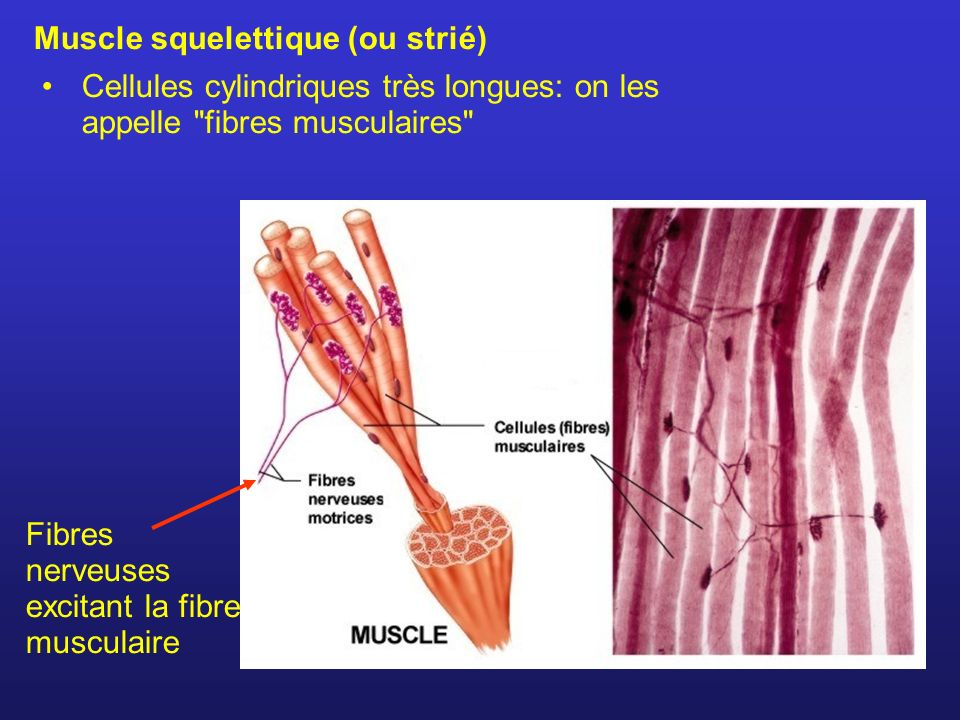Muscle squelettique (ou strié)