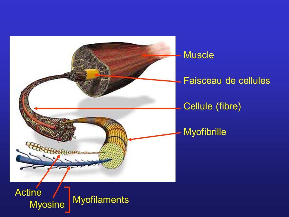 Muscle Faisceau de cellules Cellule (fibre) Myofibrille Actine Myofilaments Myosine