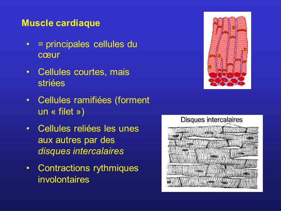 Muscle cardiaque = principales cellules du cœur. Cellules courtes, mais striées. Cellules ramifiées (forment un « filet »)