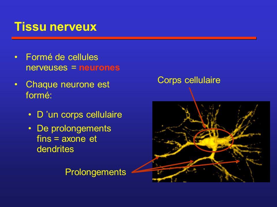 Tissu nerveux Formé de cellules nerveuses = neurones